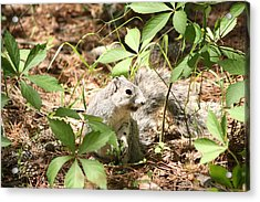 Delmarva Fox Squirrel - Local Rock Star Acrylic Print