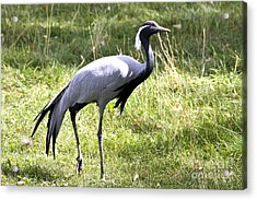 Acrylic Print featuring the photograph Demoiselle Crane by Teresa Zieba