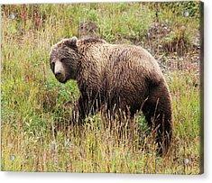 Denali Grizzly Acrylic Print