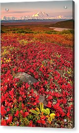 Denali National Park Fall Colors Acrylic Print by Kevin McNeal