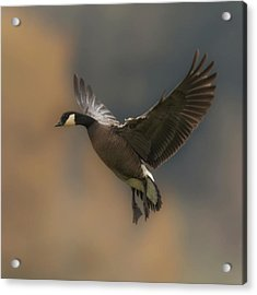Acrylic Print featuring the photograph Descending Goose by Angie Vogel