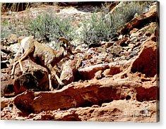 Desert Bighorn Ram Walking The Ledge Acrylic Print