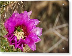 Desert Bloom Acrylic Print by Anthony Citro