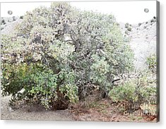 Acrylic Print featuring the photograph Desert Canyon Tree by Andrea Hazel Ihlefeld