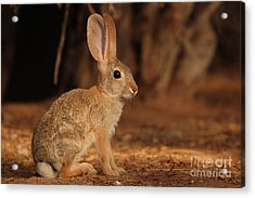Desert Cottontail Posing Acrylic Print by Max Allen