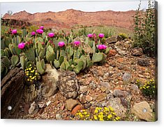 Desert Cactus In Bloom Acrylic Print