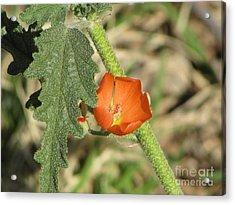 Desert Globemallow Bloom 202 Acrylic Print