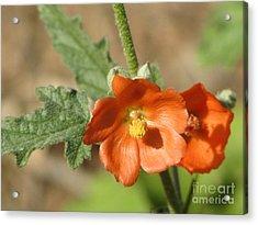 Desert Globemallow Bloom 220 Acrylic Print