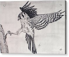 Acrylic Print featuring the drawing Falcon I by Suzette Kallen