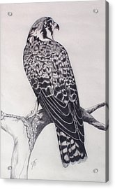Acrylic Print featuring the drawing Desert Hawk II by Suzette Kallen
