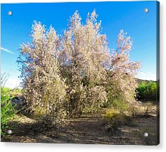 Desert Ironwood Tree In Bloom - Early Morning Acrylic Print