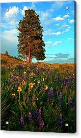 Desert Pines Meadow Acrylic Print by Mike  Dawson