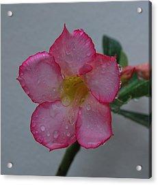 Desert Rose On White Acrylic Print by John Roncinske