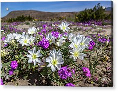 Desert Super Bloom 2017 Acrylic Print by Peter Tellone