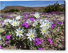 Desert Super Bloom 2017 Acrylic Print by Peter Tellone