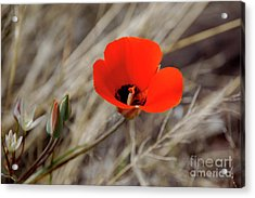 Acrylic Print featuring the photograph Desert Wildflower by Frank Stallone