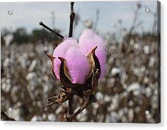 Acrylic Print featuring the photograph Designer Cotton by Rick McKinney