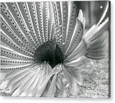 Detail Of Great Argus Courtship Display Acrylic Print