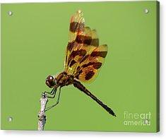 Detailed Dragonfly Acrylic Print by Cheryl Baxter