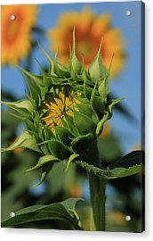 Acrylic Print featuring the photograph Developing Petals On A Sunflower by Chris Berry