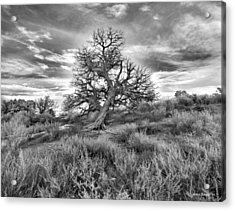 Devils Canyon Tree Acrylic Print