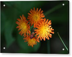 Acrylic Print featuring the photograph Devils Paintbrush by Ron Read