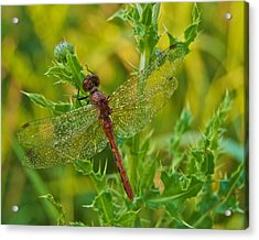 Dew Covered 5904 Acrylic Print by Michael Peychich
