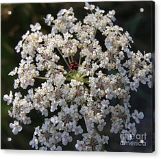 Dew On Queen Annes Lace Acrylic Print