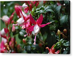Dew On The Flower Acrylic Print by Jonathan Galente