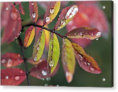 Dew On Wild Rose Leaves In Fall Acrylic Print by Darwin Wiggett