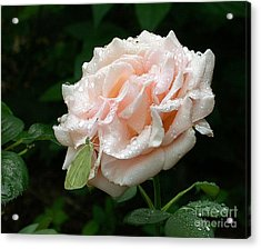 Dewdrops On A Rose Acrylic Print by Addie Hocynec