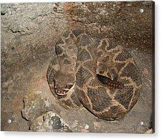 Diamondback Rattlesnake Acrylic Print by Warren Thompson