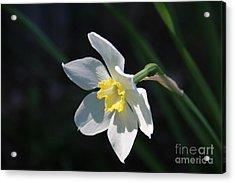 Diana's Daffodil Acrylic Print