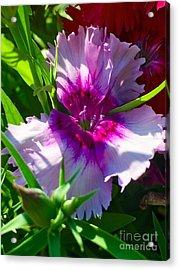 Dianthus Carnation Acrylic Print