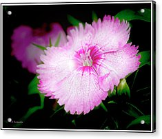 Dianthus Flower Acrylic Print