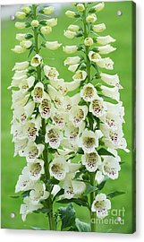 Digitalis Purpurea Primrose Carousel Acrylic Print by Tim Gainey