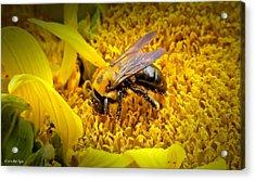 Diligent Pollinating Work Acrylic Print