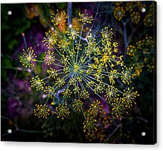 Dill Going To Seed Acrylic Print