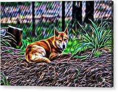 Dingo From Ozz Acrylic Print