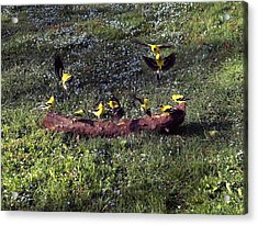 Goldfinch Convention Acrylic Print by Nick Kloepping