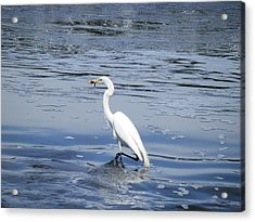 Dinnertime Pelican Acrylic Print
