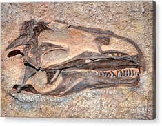 Dinosaur Skull And Teeth In Rock - Utah Acrylic Print by Gary Whitton