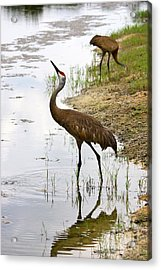 Dip In The Pond Acrylic Print by Carol Groenen