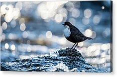 Dipper On Ice Acrylic Print by Torbjorn Swenelius