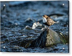 Dipper On The Rock Acrylic Print by Torbjorn Swenelius