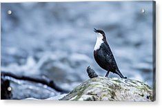 Acrylic Print featuring the photograph Dipper's Call by Torbjorn Swenelius