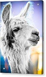 Dirtbag Llama Acrylic Print by TC Morgan