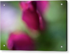 Distant Roses Acrylic Print