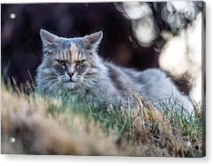 Disturbed Cat - Grace Acrylic Print by Everet Regal