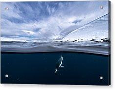 Dive Acrylic Print by Justin Hofman
